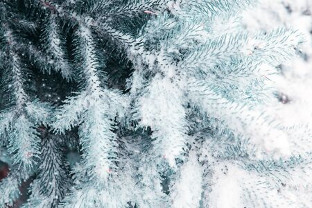 Snow-covered blue fir tree. Winter background with snow. Stock fotó