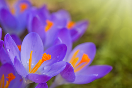 Close-up of a group of blooming purple crocus flowers .