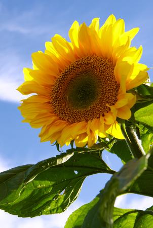 Sun flower against a blue sky. Summer background.