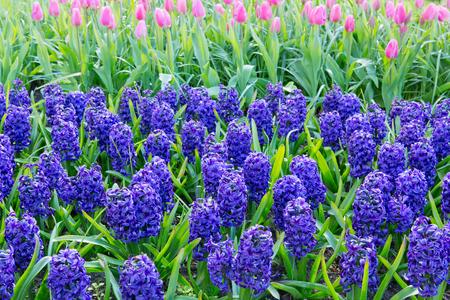 Blue Hyacinths in the garden. Spring background.