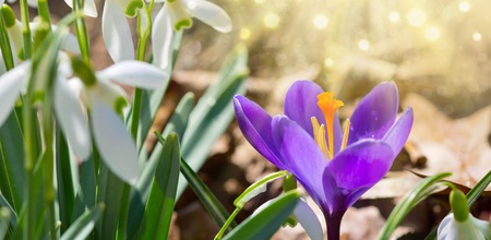 Sneeuwklokjes op de achtergrond bokeh in zonnige lentetuin en paarse krokus. Stockfoto