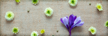 White aster and purple crocus. Festive decoration on cloth background. 免版税图像