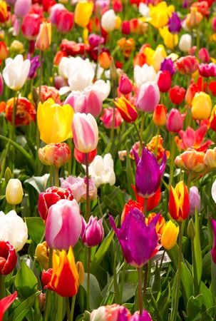 Colorful tulips background. Stockfoto