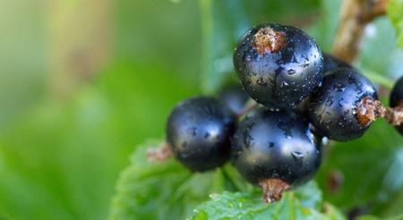 Zweig der reifen Beeren der schwarzen Johannisbeere, die am Busch in einem Garten hängen. Nahansicht. Selektiver Fokus auf Beeren.