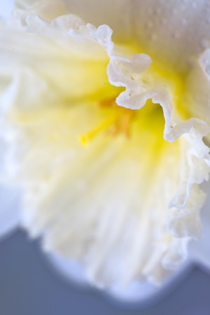 A macro shot of a white petalled daffodil with an orange trumpet.