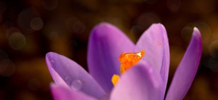 Crocus flower bloom in the field early spring.