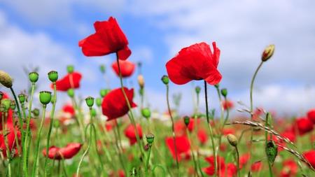 Wilde Mohnblumen auf Hintergrund des blauen Himmels.
