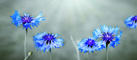 Blue cornflowers isolated on blur gray background.