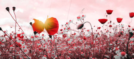 Wild poppy flowers on sky background and sunlight.