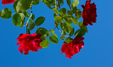Red roses on blue sunny sky. Summer background.