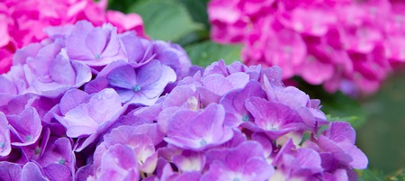 Colorful hydrangea in the summer garden.Flowers background. 写真素材