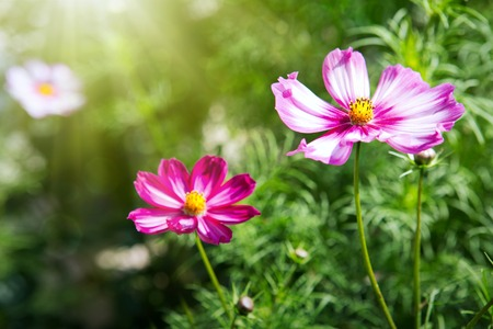 Bright summer floral natural background.Pink and red cosmos flowers in the garden isolated on green.