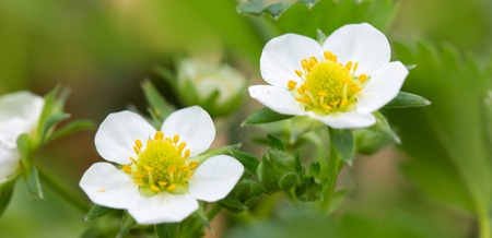 Closeup of a two strawberry blossom isolated on green. 写真素材