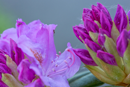 Macro pink flower of rhododendron.Close-up of beautiful pink Azaleas.