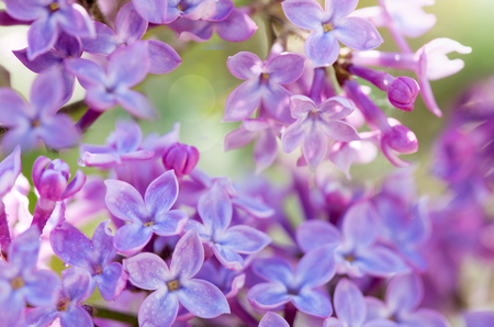 Purple lilac bush blooming in Spring day. Flowers background.