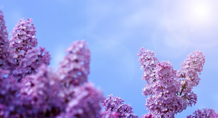 Purple lilac bush blooming in Spring day. Branch of blossoming lilac isolated on blue sky.