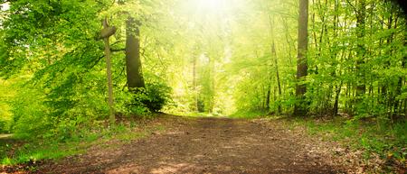 Lumière du soleil dans la forêt verte du printemps en Allemagne.