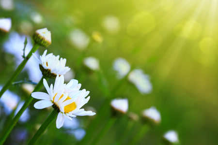 Chamomile flowers with drops of water on the green background.
