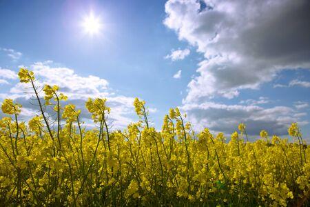 Yellow flowering rape field and blue sky with sunshine. Banco de Imagens