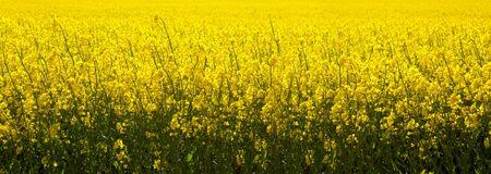 Yellow rape field . Nature background.