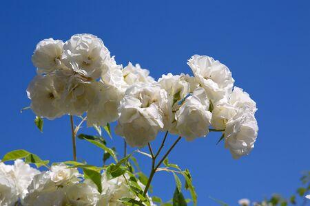 White climbing roses on blue sunny sky. Summer background.