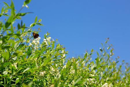 Beautiful butterfly feeding on a white flowers. Macro butterfly against blue sky.