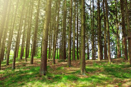 Tree trunks in sunny summer forest with shadows and sun rays in background. Banco de Imagens