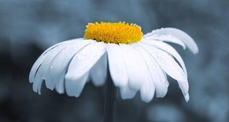 Macro Shot of white daisy flower isolated on gray.