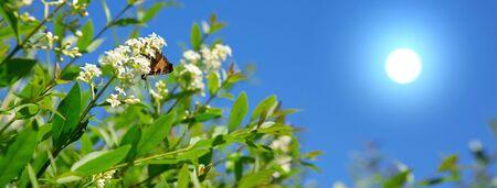 Beautiful butterfly feeding on a white flowers.