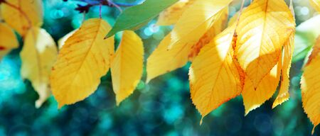 Yellow autumn leaves isolated on green background. Banco de Imagens