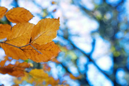 Yellow autumn leaves isolated on blur background.