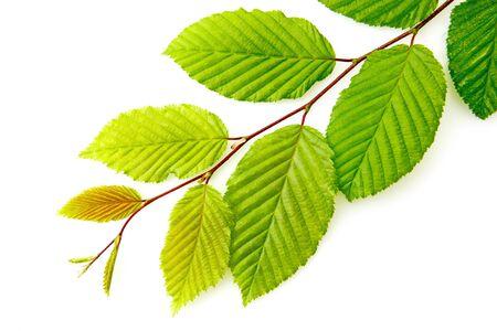 Grüne Buchenblätter auf dem Zweig isoliert auf weißem Hintergrund.