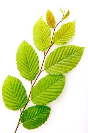 Green beech leaves on branch isolated on white background.