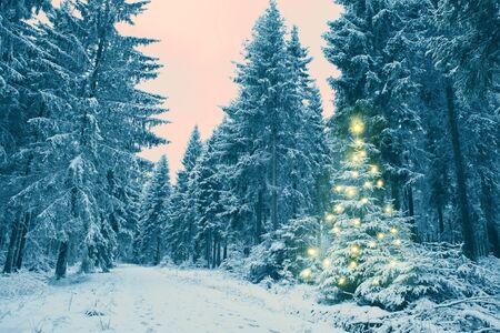 Snowy fir trees in the winter forest. Christmas tree.