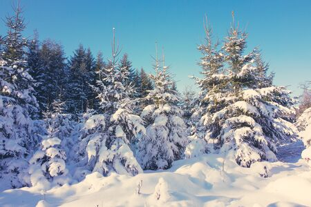 Winter landscape with snow covered fir trees.Nature background.