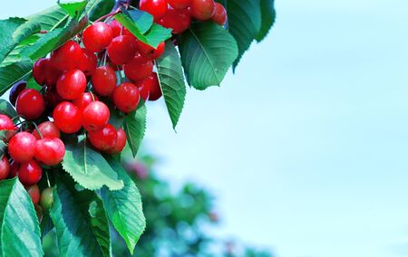 Macro shot of red cherries hanging on a tree branch. Nature background.