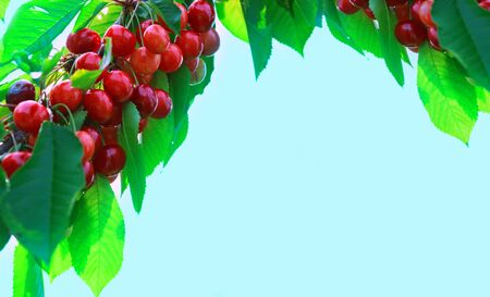 Cherries hanging on a cherry tree branch. Cherry tree in the sunny garden.