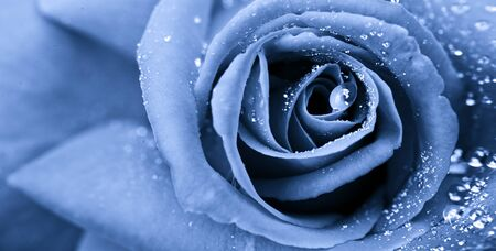 Blue rose with water drops. Macro shot on rose.