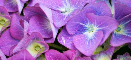 Purple Hydrangea background. Macro photo. Stock fotó
