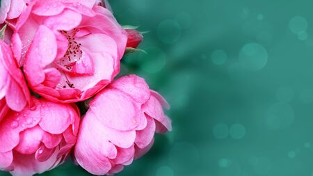 Closeup of pink rose isolated on blur background.