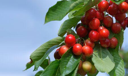 Cherries hanging on a cherries tree branch. Cherry tree in the sunny garden.