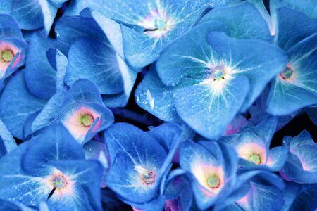 Blue Hydrangea background. Macro photo.