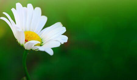 Summer background. White daisy flower in sunset light.