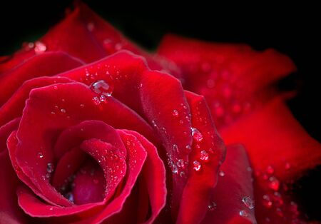 Red rose with water drops. Macro shot on red rose. Stock fotó