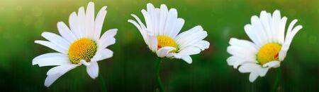 Summer background. White daisy flowers in sunset light. Stock fotó