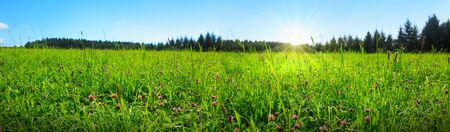 Wild pink clover in green grass field. Clover flowers field in sunset. Stock Photo