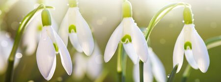 Snowdrops on bokeh background in sunny spring garden under sunbeams. Stok Fotoğraf