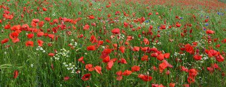 Beautiful red poppy field. Summer background. Reklamní fotografie