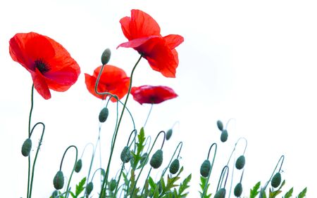 Red poppy flowers isolated on white background