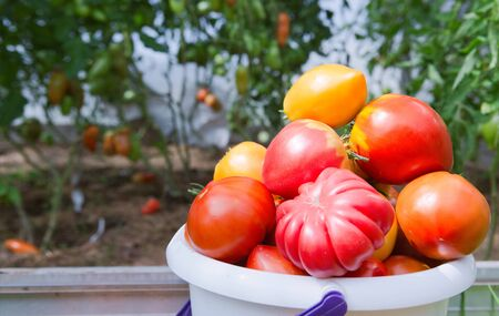 Large red tomatoes in a white bucket.